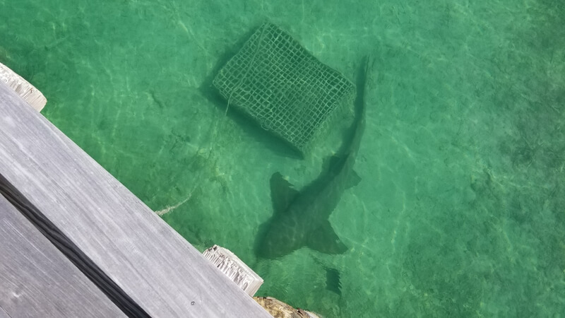 Green Turtle Cay, Bluff House Marina - Nurse shark hanging out by the fuel dock.