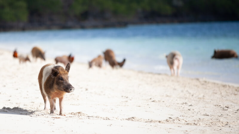 The world-famous swimming pigs on Noname Cay