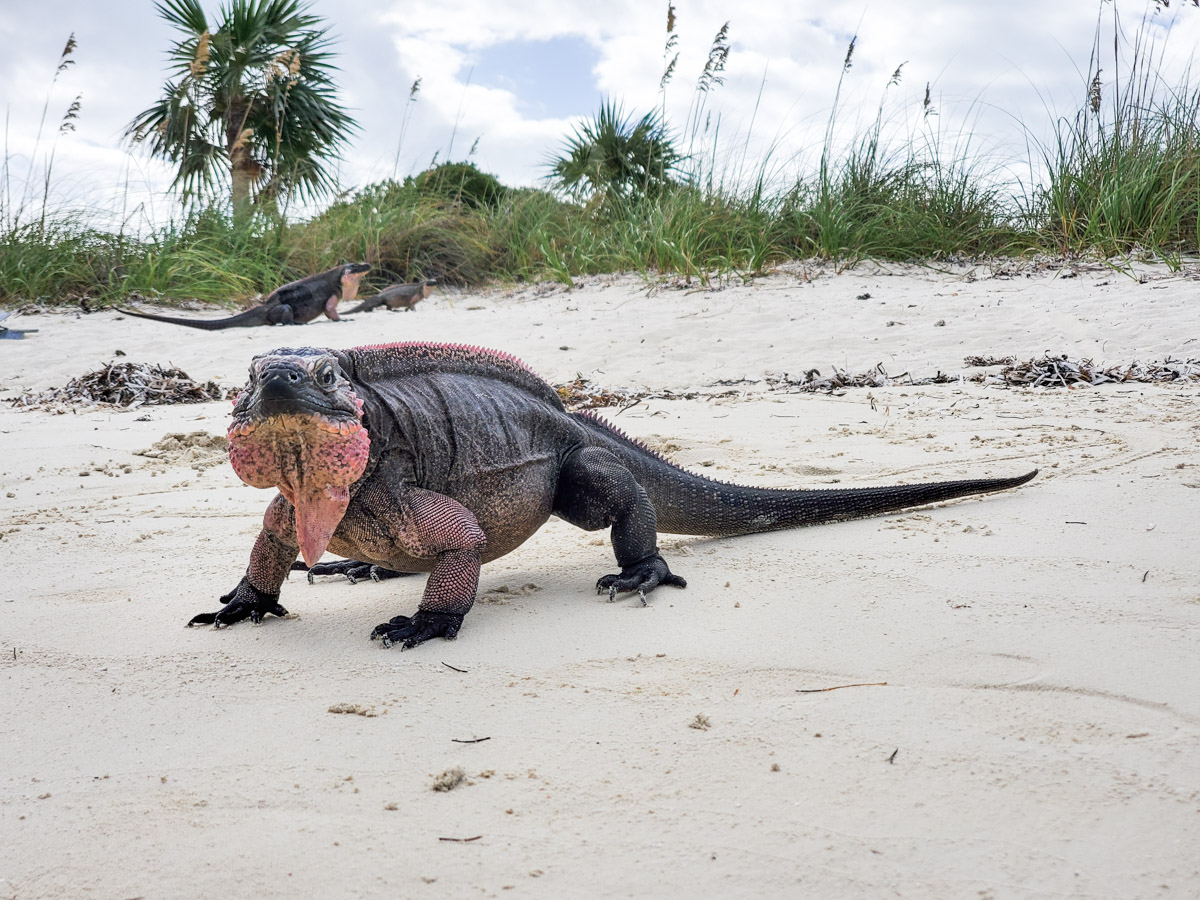 A nearly fearless iguana on Allan's Cay