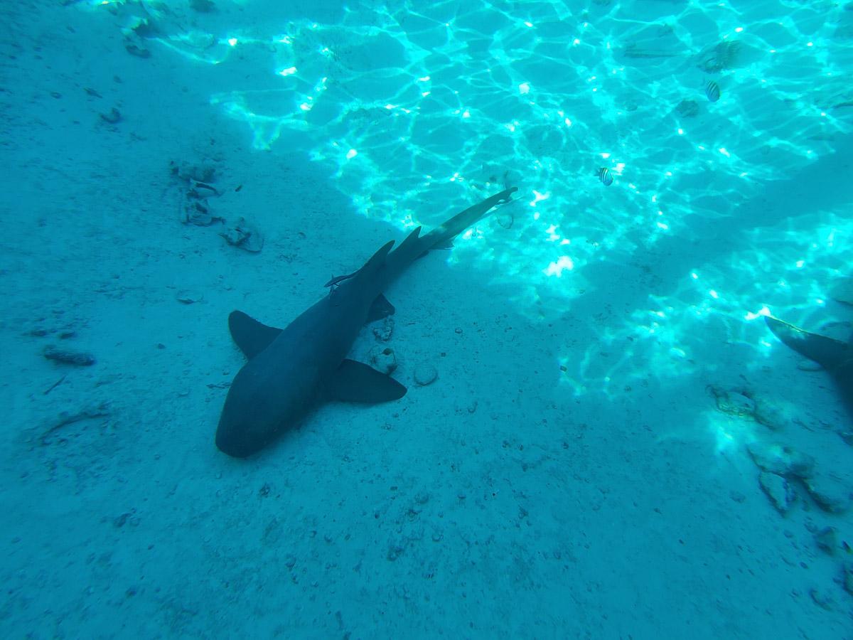 More nurse sharks